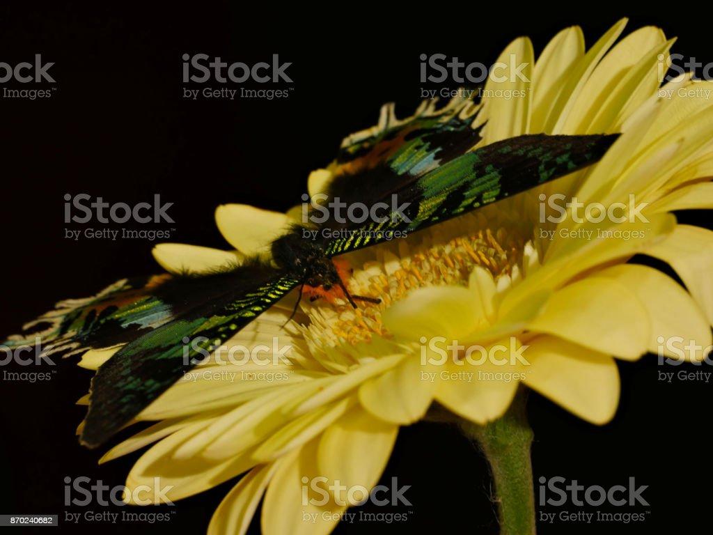 Green-black-orange Chrysiridia rhipheus butterfly on yellow gerbera flower stock photo