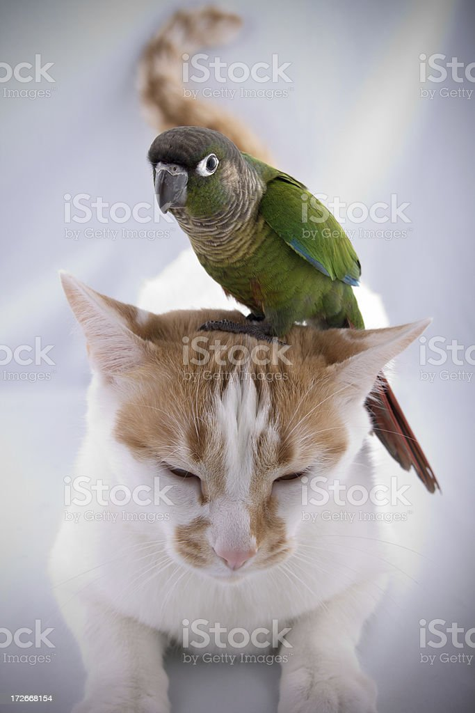 Green-cheeked conure on top of cat stock photo