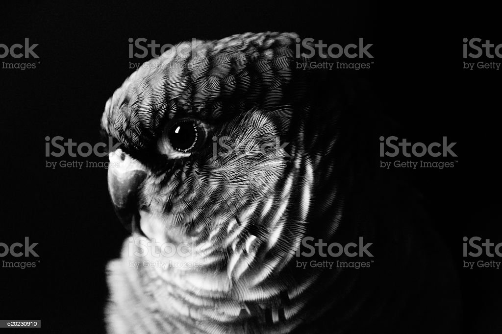 Green-cheeked parakeet stock photo