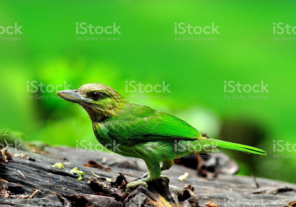 Green-eared Barbet eating banana fruit stock photo