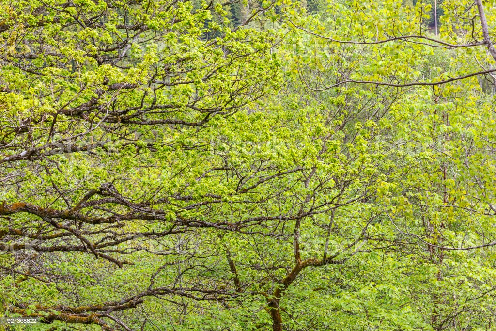 Greenery in the forest in the spring Greenery in the forest in the spring Abstract Stock Photo