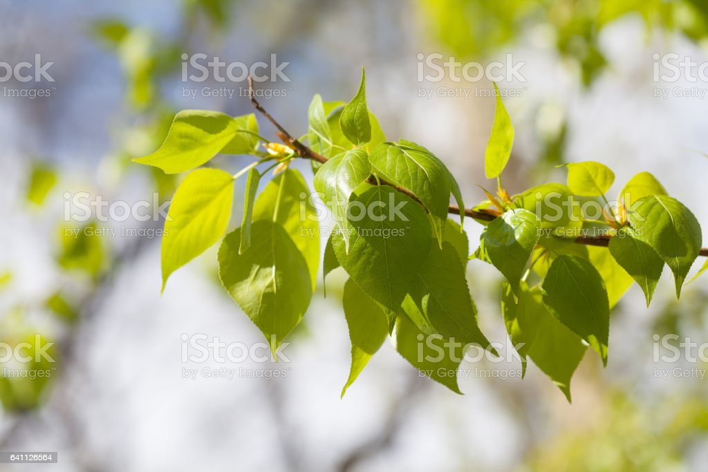 Greenery leaves on green background. Poplar tree branch macro view. Spring time concept, sunny day weather stock photo
