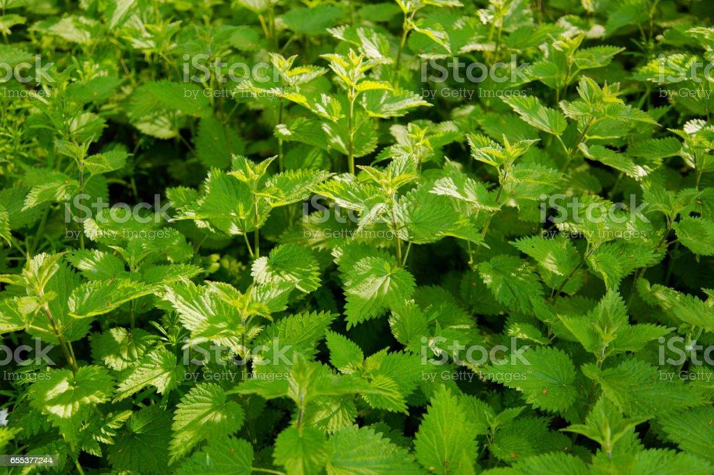 Greenery nettles background stock photo
