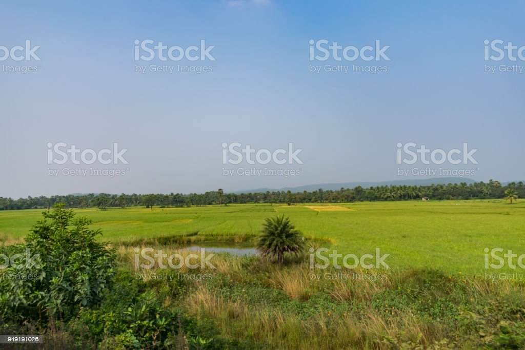 A greenery paddy farming ready for harvesting with lots of trees view. stock photo