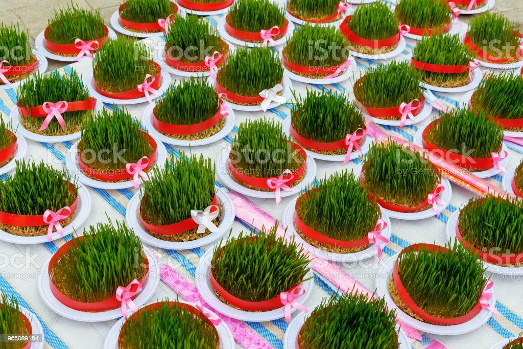 Greenery Sabze for Haft-Seen. Traditional spring symbol Novruz semeni fresh green wheat grass.Astara. Gilan Province, Iran royalty-free stock photo