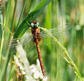 A brown and rather plain hawker, with largely clear wings and conspicuous green eyes. The yellow triangle on S2 is diagnostic, as are the colour and shape of the hind wing base. Males patrol marshy ditches, reedy lakesides and other lush, calm waters.\nField characters: Tot 62-66mm, Ab 47-54mm, Hw 39-45mm.\nHabitat: Ditches, marshes, ponds and lakes with rich vegetation. Favours swamps of Water-soldier (Stratiotes aloides) in most of its northern range.\nFlight Season: May to August in most of its range, most abundant in June; earlier than most Aeshnia.\nDistribution: Widespread but very local in much of its range, especially in south-west, often numerous where present. \n\nThis is not a very common Species in the described Habitats in the Netherlands.