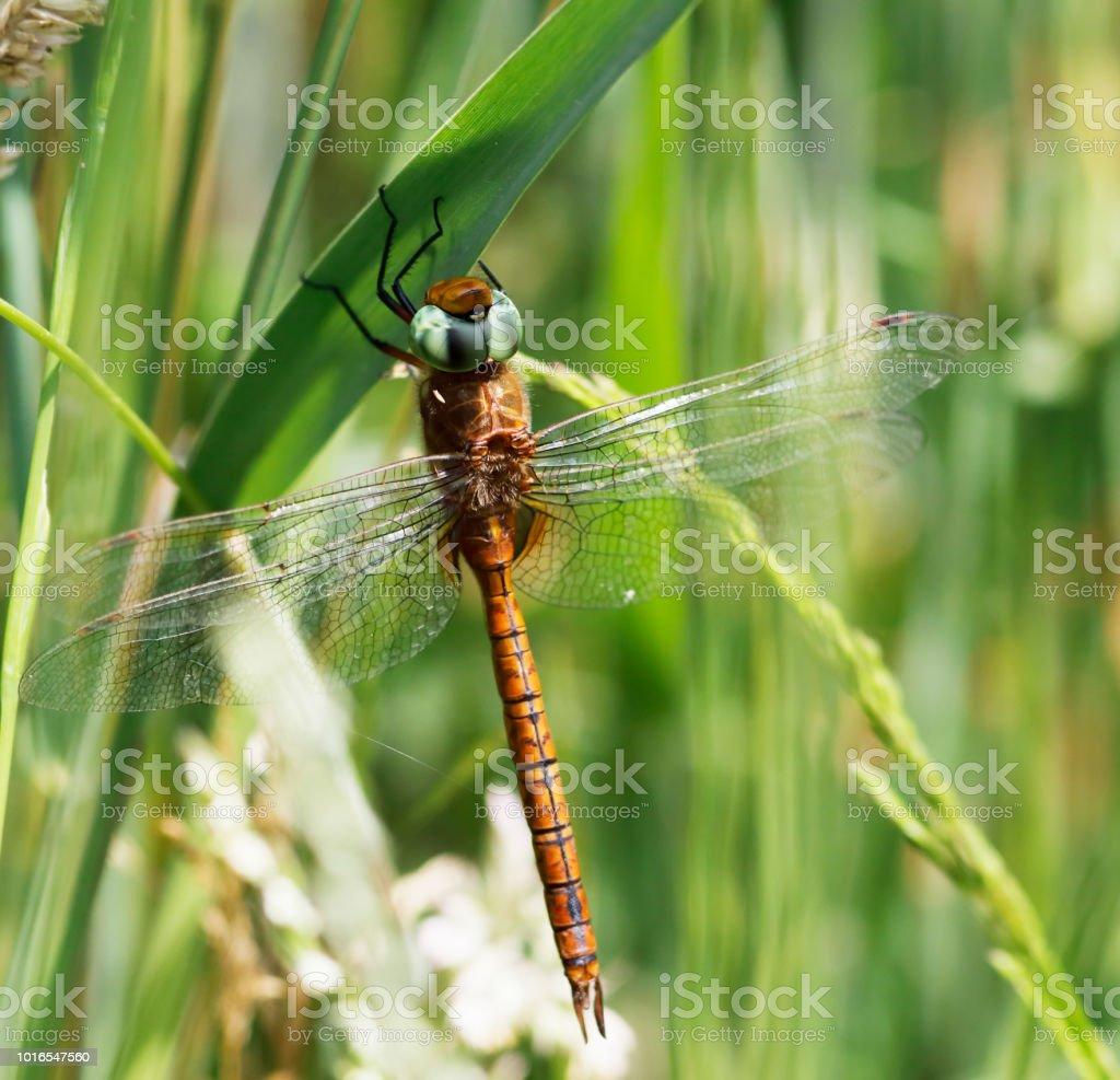 Groen-eyed Hawker Dragonfly (Aeshna isoceles) foto