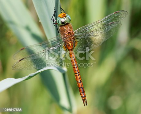 A brown and rather plain hawker, with largely clear wings and conspicuous green eyes. The yellow triangle on S2 is diagnostic, as are the colour and shape of the hind wing base. Males patrol marshy ditches, reedy lakesides and other lush, calm waters. Field characters: Tot 62-66mm, Ab 47-54mm, Hw 39-45mm. Habitat: Ditches, marshes, ponds and lakes with rich vegetation. Favours swamps of Water-soldier (Stratiotes aloides) in most of its northern range. Flight Season: May to August in most of its range, most abundant in June; earlier than most Aeshnia. Distribution: Widespread but very local in much of its range, especially in south-west, often numerous where present.   This is not a very common Species in the described Habitats in the Netherlands.