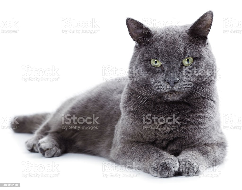 Green-eyed Maltese cat lying down and staring at the camera stock photo