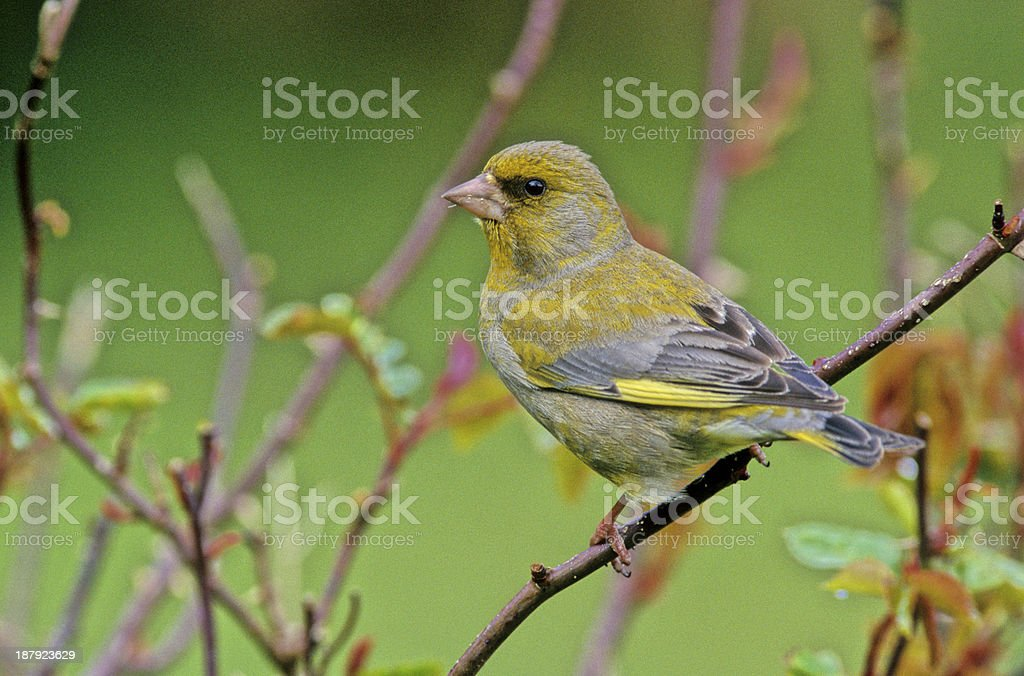 Greenfinch, Carduelis chloris royalty-free stock photo