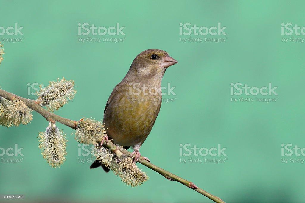 Greenfinch, Carduelis chloris stock photo