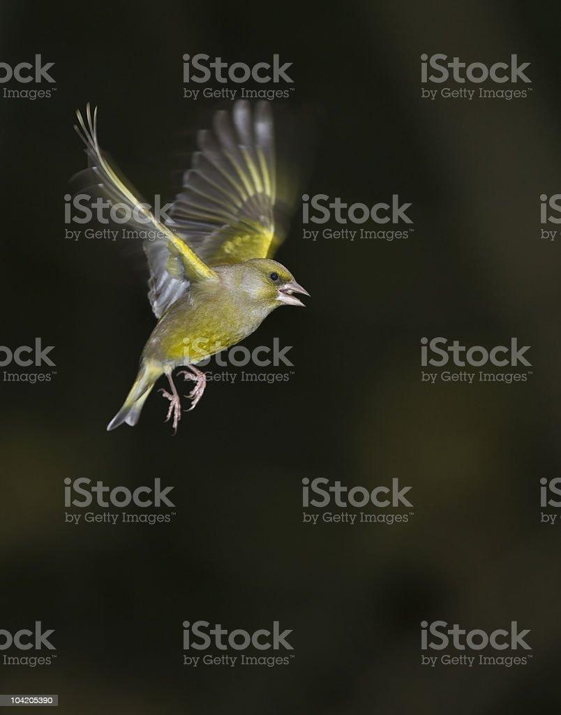 Greenfinch in flight stock photo