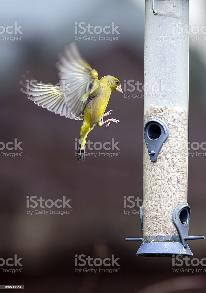 Greenfinch Landing stock photo