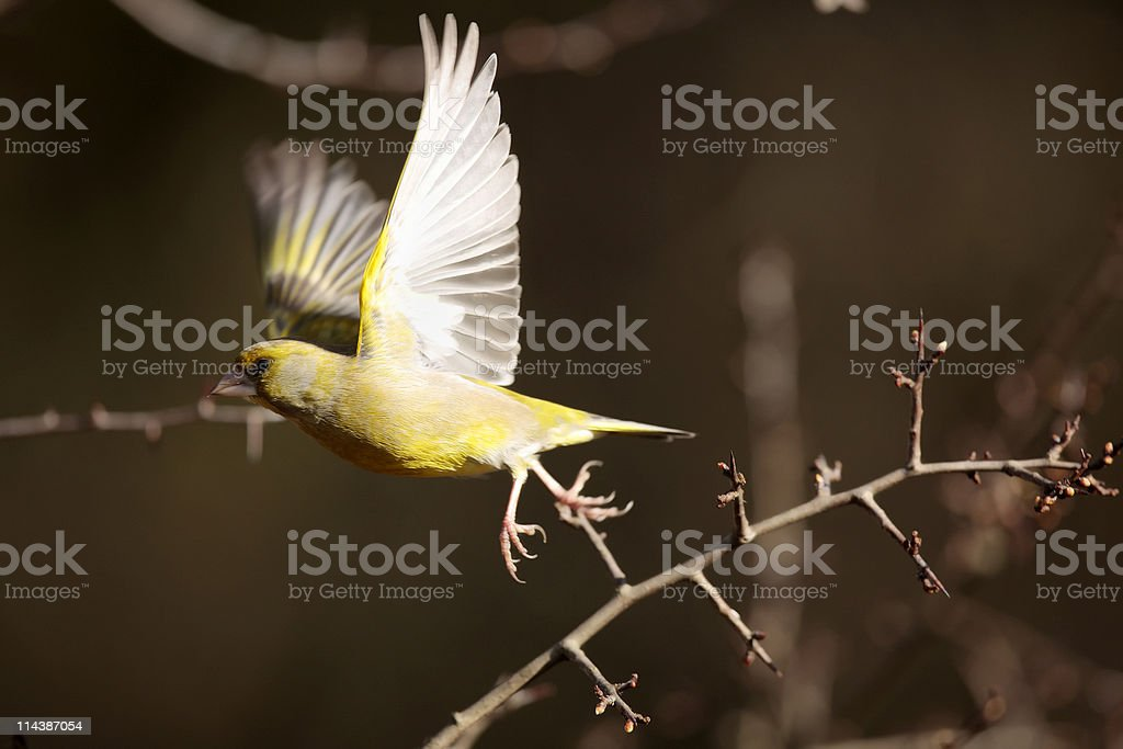 Greenfinch (Carduelis chloris) royalty-free stock photo