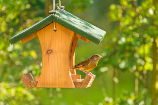 Greenfinch visiting a hanging wooden seed feeder