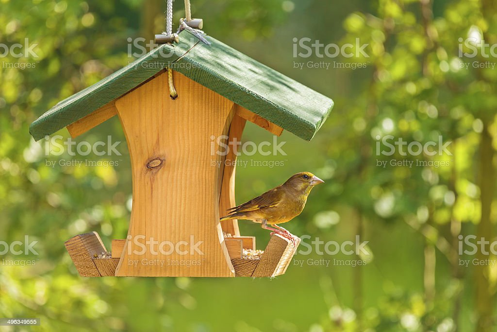 Greenfinch with seed feeder stock photo