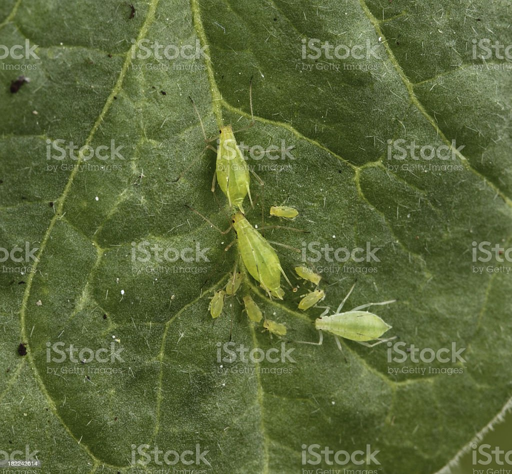 Greenfly and their young stock photo