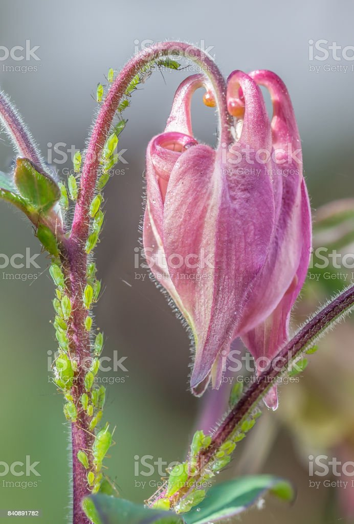 Greenfly on an Aquilegia flower, close up of detail. stock photo