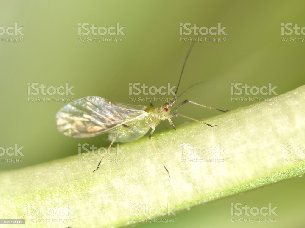 Greenfly stock photo