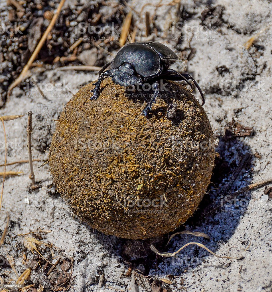 Green-grooved Dung Beetle stock photo