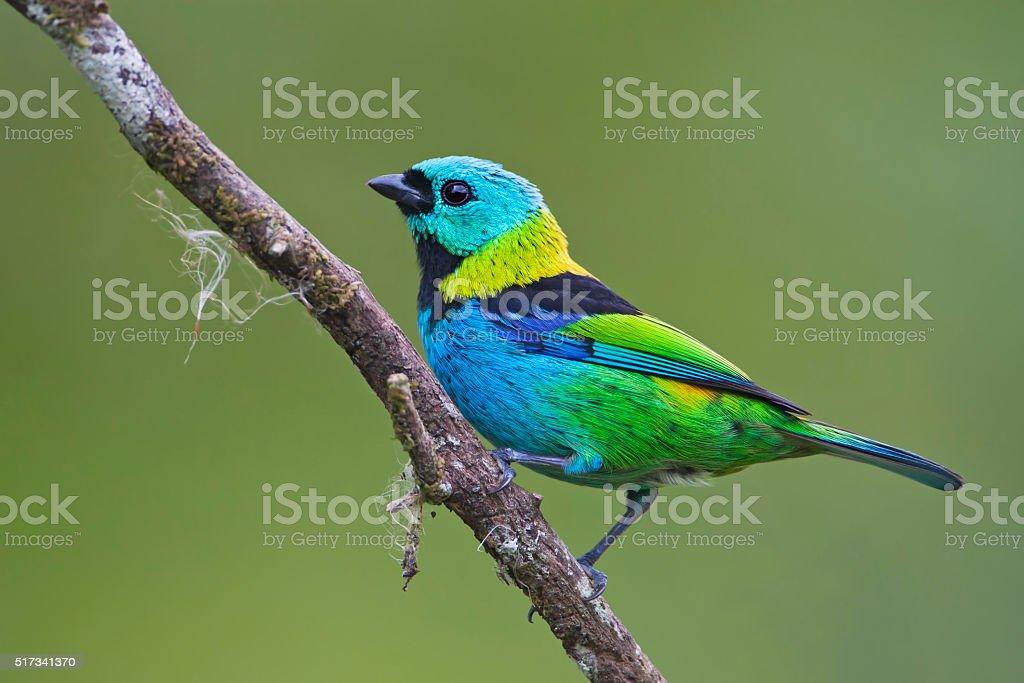 Green-headed tanager (Tangara seledon) on branch in garden, Itanhaem, Brazil stock photo