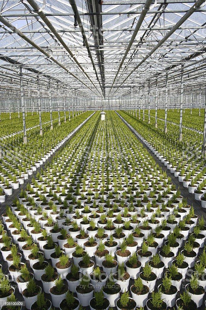 Greenhouse Conifers stock photo