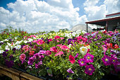 Colorful petunias blooming in front of a greenhouse