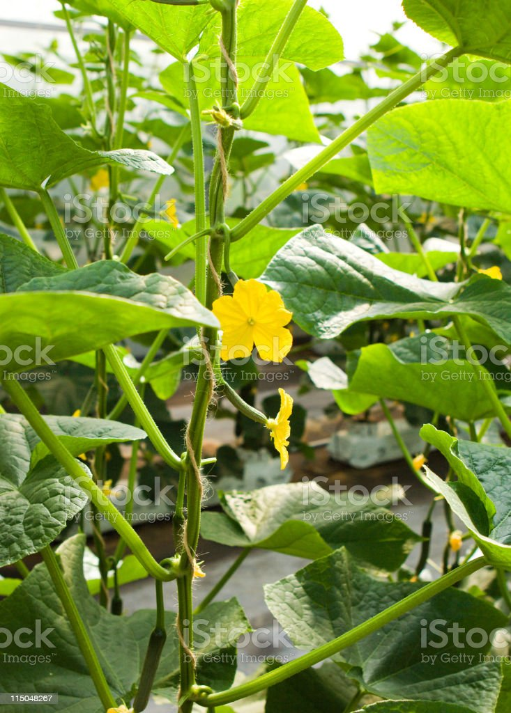 Greenhouse Cucumbers royalty-free stock photo
