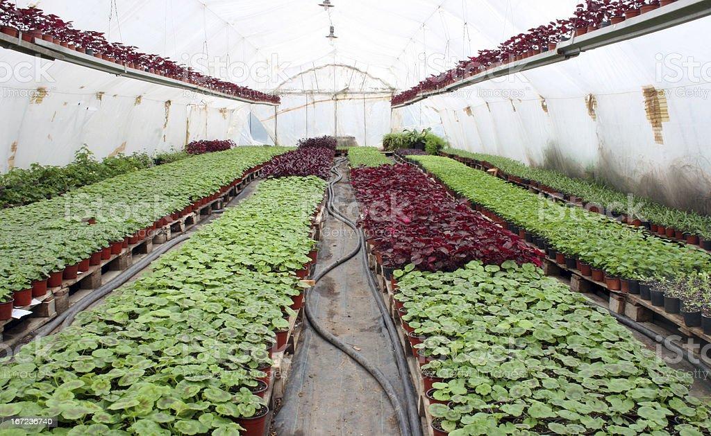 Greenhouse farming royalty-free stock photo