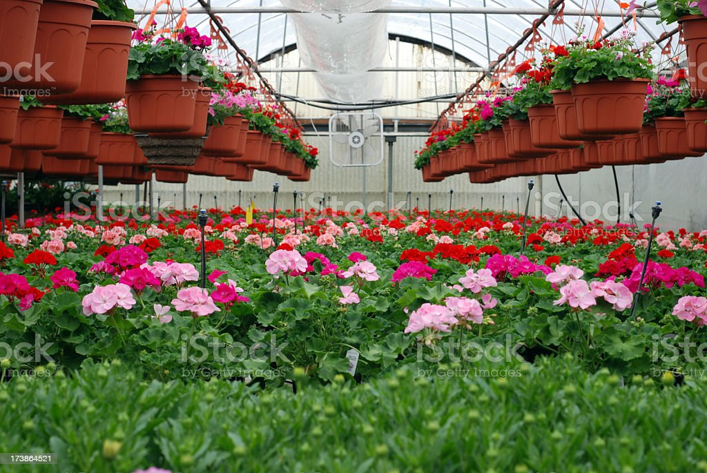 A greenhouse filled with many different colored geraniums royalty-free stock photo