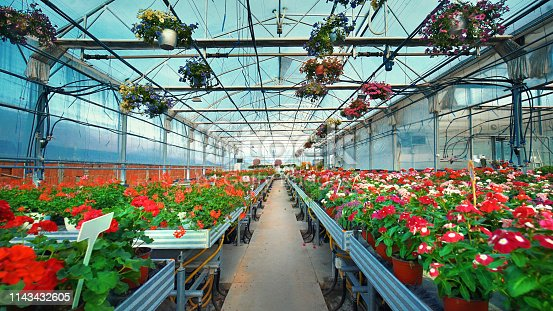 Closeup wide angle of greenhouse potted flower plants. There are many flower sorts on the stalls and hanging from the ceiling construction in the frame with an aisle in the middle.