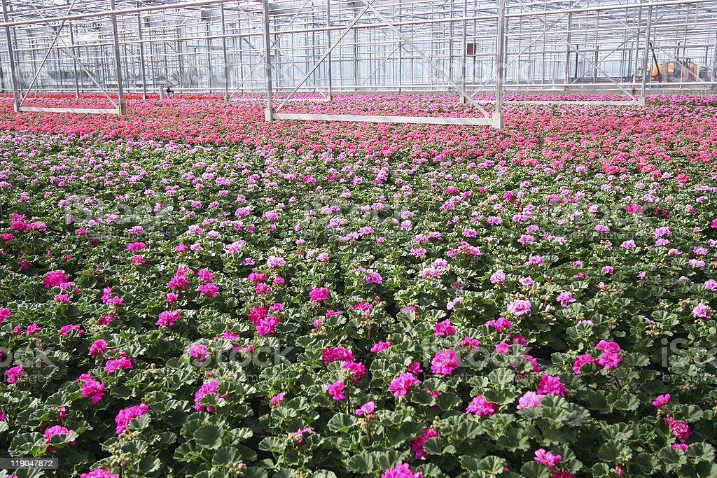 Greenhouse Flowers stock photo