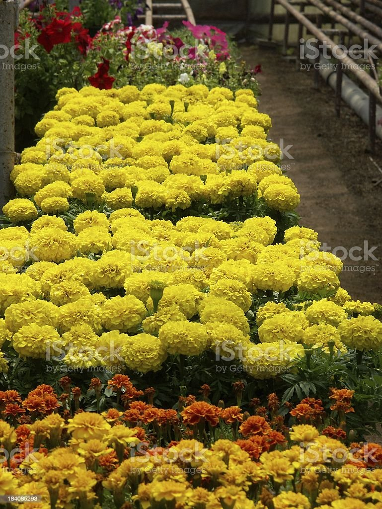 Greenhouse Flowers royalty-free stock photo