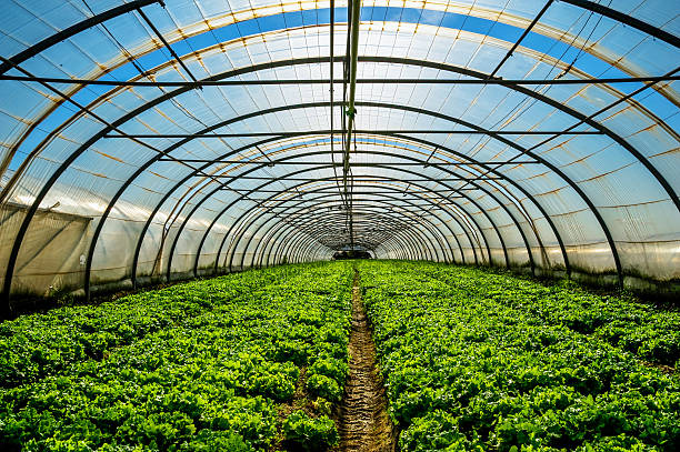 Greenhouse for the cultivation of salad stock photo