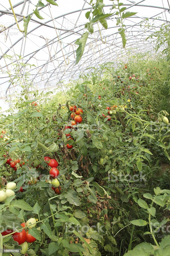 greenhouse for the cultivation stock photo