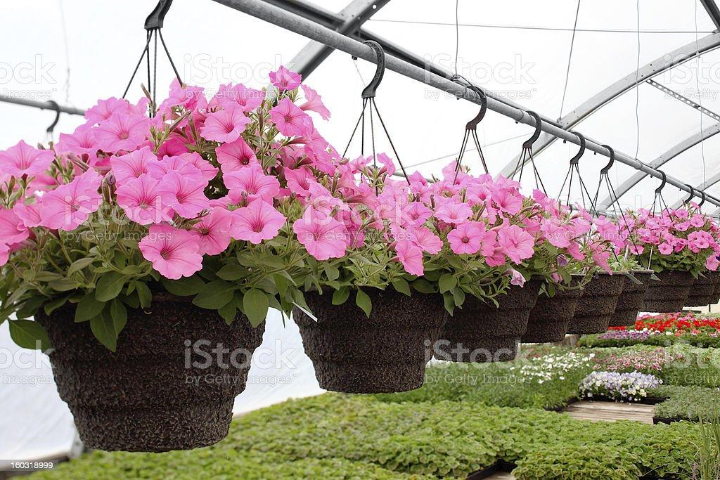 Greenhouse hanging baskets stock photo