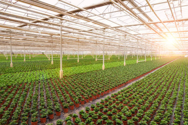 Greenhouse industrial cultivation stock photo