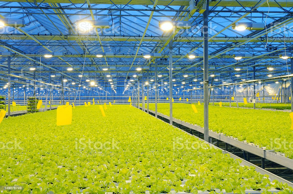 Greenhouse lettuce stock photo