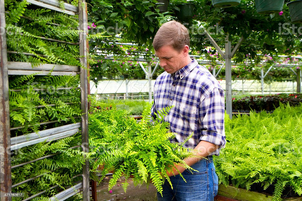 Greenhouse Owner Inspects His Crop royalty-free stock photo