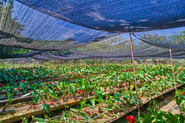 Gewächshaus-Plantage der roten Arum Lilie – Foto