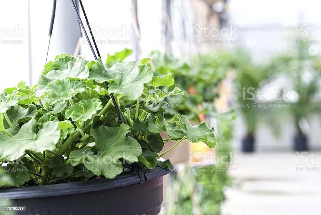 potted plant hanging baskets stock photo