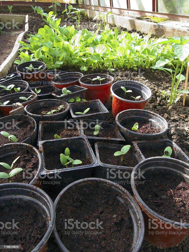 greenhouse seedling royalty-free stock photo