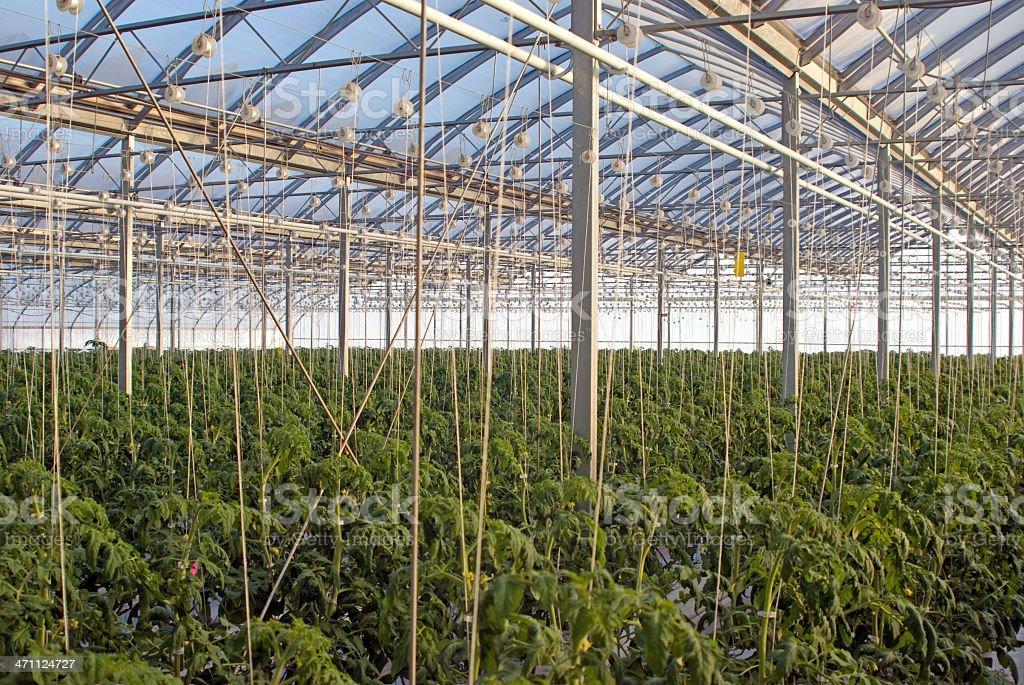 Greenhouse Tomato Production royalty-free stock photo