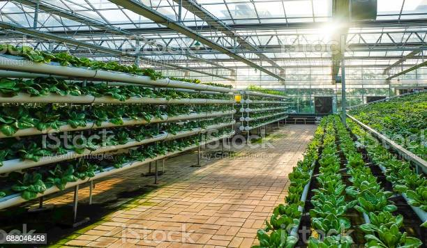 Greenhouse Vegetable Factory Stock Photo - Download Image Now