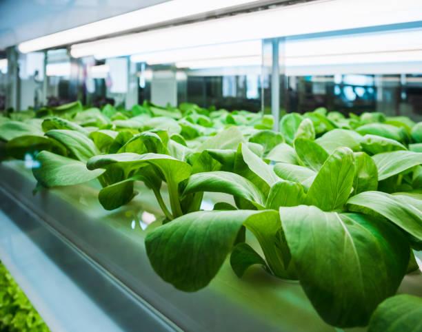 gewächshaus gemüse pflanzenreihe wachsen mit led licht innen landwirtschaft technik - gartenbau betrieb stock-fotos und bilder