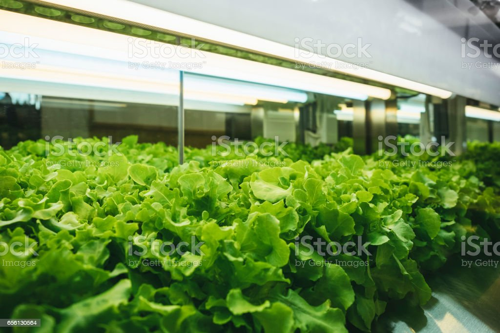 Greenhouse Vegetables Plant Row Grow With Led Light Indoor Farming  Technology Royalty Free Stock Photo