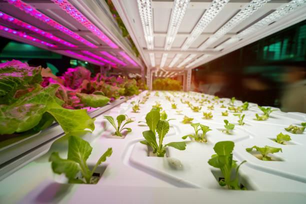 gewächshausgemüse pflanze mit led licht indoor landtechnik - gartenbau betrieb stock-fotos und bilder
