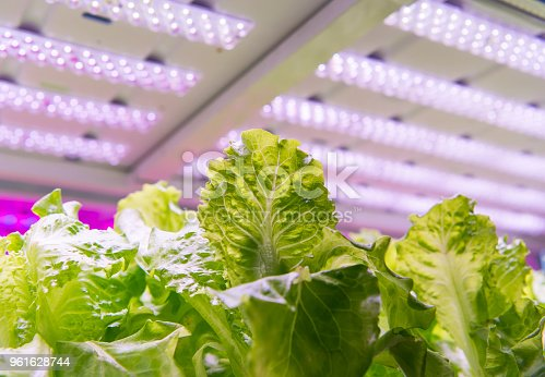 istock Greenhouse vegetables Plant with Led Light Indoor Farm Technology 961628744