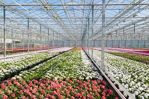 gewächshaus mit farbenfrohen geranie pflanzen - lila, grün, schlafzimmer stock-fotos und bilder