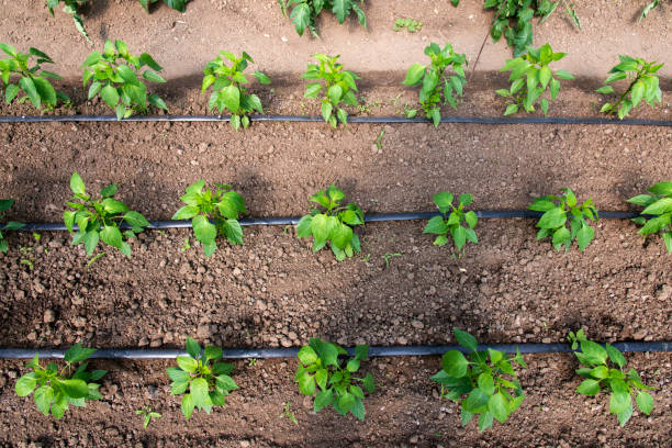 Gewächshaus mit Bio-Pfefferpflanzen und Tropfbewässerungssystem - selektiver Fokus – Foto